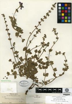 Image of Salvia veronicaefolia