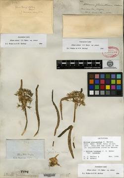 Allium pleianthum image