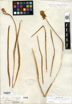 Tofieldia occidentalis image