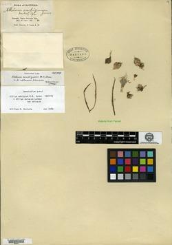 Allium ambiguum image