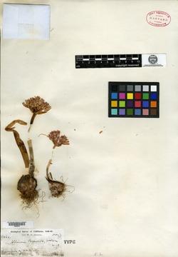 Allium breweri image