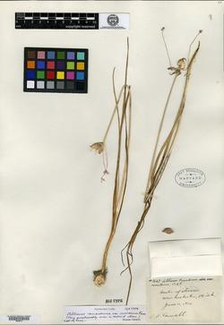 Allium canadense var. ovoideum image