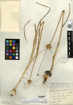 Allium canadense var. robustum image