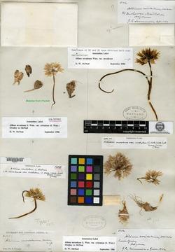 Allium atrorubens var. cristatum image