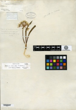 Image of Allium cusickii
