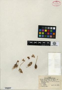 Image of Allium equicaeleste