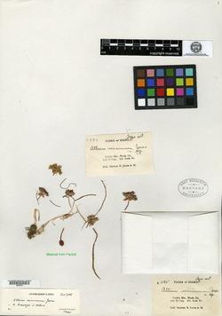 Image of Allium minimum