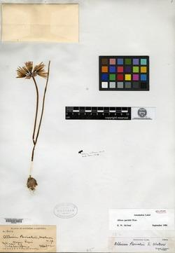 Allium parishii image