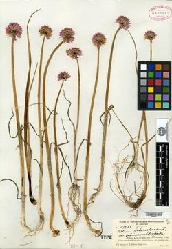 Allium schoenoprasum var. laurentianum image