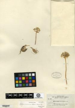 Allium scissum image