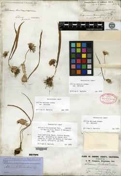 Allium tribracteatum image