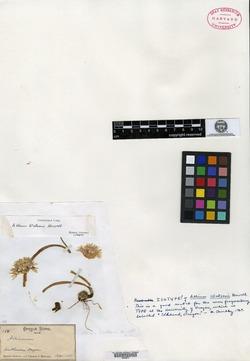 Allium watsonii image