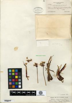 Allium californicum image