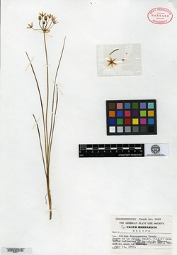 Image of Allium durangoense