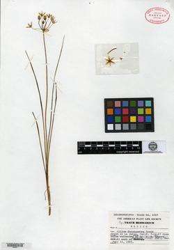 Image of Allium durangoense