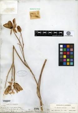 Image of Calochortus greenei
