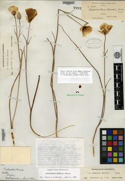 Image of Calochortus howellii