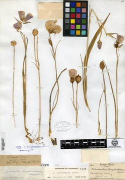 Calochortus longebarbatus image