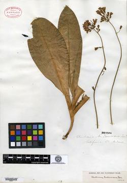 Clintonia andrewsiana image