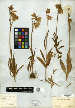 Image of Fritillaria liliacea