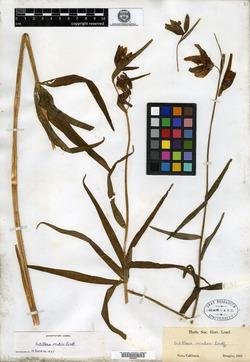 Image of Fritillaria mutica