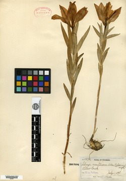 Image of Lilium montanum