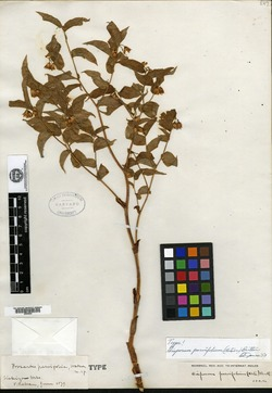 Image of Prosartes parvifolia