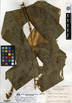 Image of Maianthemum gigas