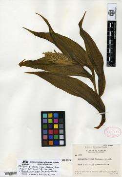 Maianthemum gigas image