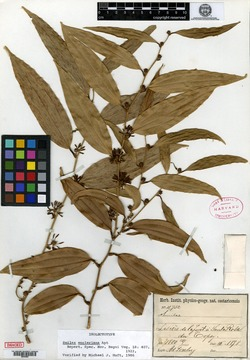 Smilax domingensis image