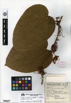 Smilax subpubescens image
