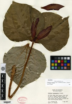 Image of Trillium kurabayashii