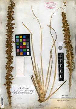 Image of Xerophyllum douglasii