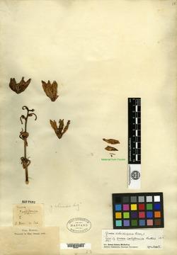 Image of Yucca californica