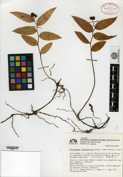Image of Maianthemum comaltepecense