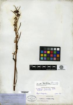 Image of Fritillaria parviflora
