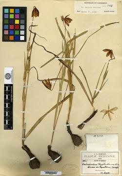Image of Calochortus cernuus