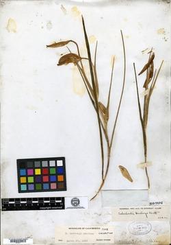 Image of Calochortus hartwegii