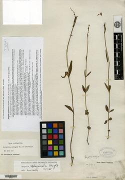 Image of Spigelia guianensis