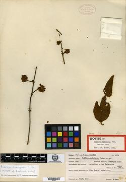 Image of Buddleja domingensis