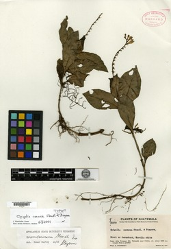 Image of Spigelia carnosa