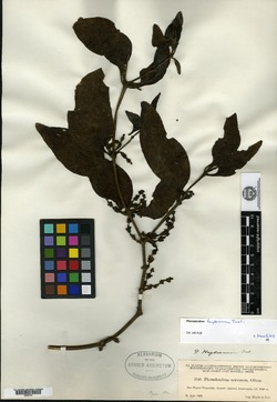 Image of Phoradendron heydeanum