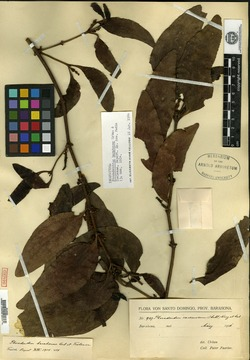 Image of Phoradendron barahonae