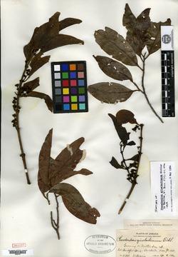 Image of Phoradendron grisebachianum