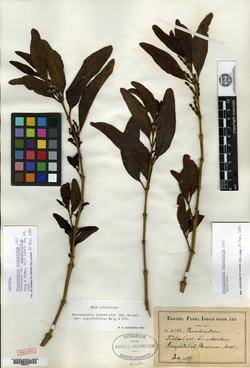 Image of Phoradendron hexastichum