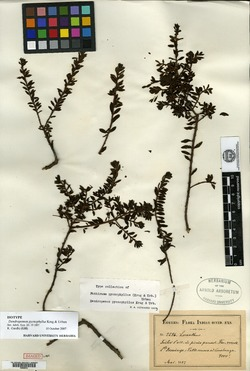 Image of Dendropemon pycnophyllus