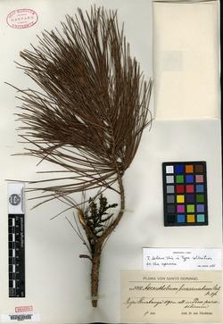 Arceuthobium bicarinatum image