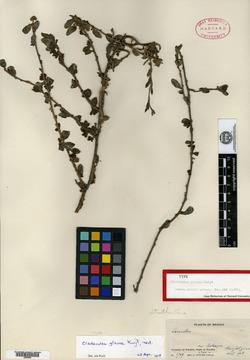 Image of Cladocolea glauca