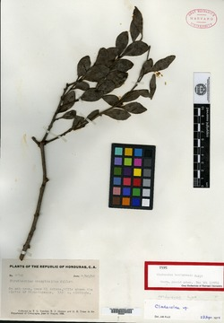 Image of Cladocolea hondurensis