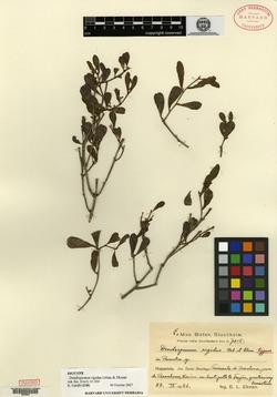 Image of Dendropemon rigidus